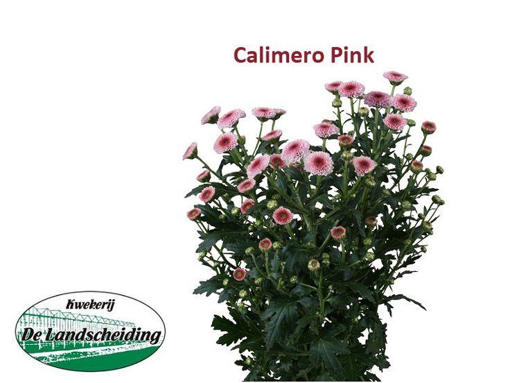 Calimero pink
