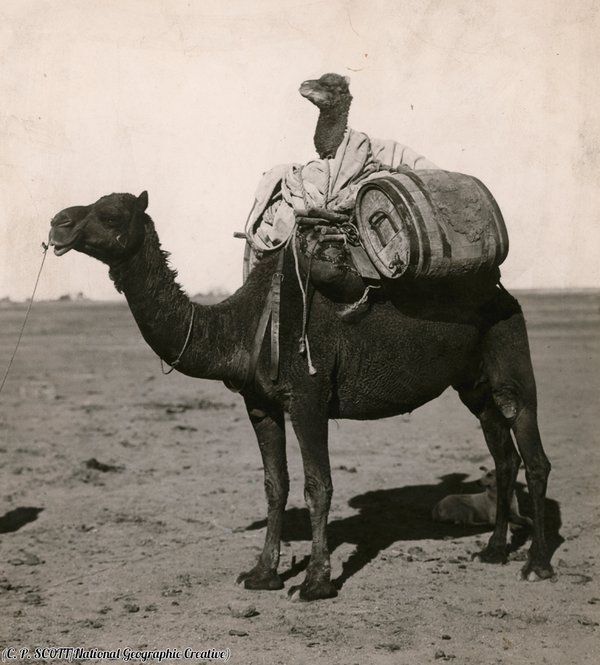 A camel on a camel in Western Australia, 1916. Photograph by C.P. Scott.