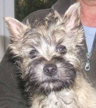 I love that Cairn terrier puppy mug.