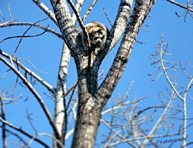Beautiful racoon high in the trees  In love with nature.