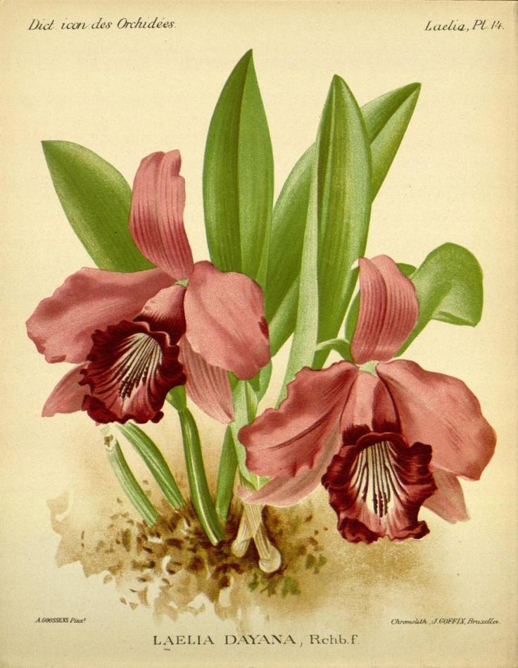 Laelia dayana. Dictionnaire iconographique des orchidees: Laelia  Bruxelles :Imp. F. Havermans, 1896-1907.  Biodiversitylibrary. Biodivlibrary. BHL. Biodiversity Heritage Library