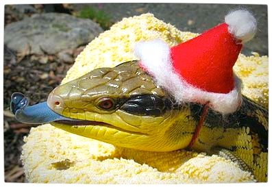Vamers - Ermahgerd - Forget Snakes on a Plane, It Is All About Snakes Wearing Hats - Santa Hat Snake