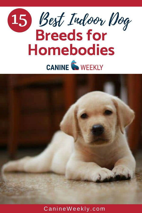 15 Best Indoor Dogs For Homebodies Dogs Dog Breeds Top Dog Breeds