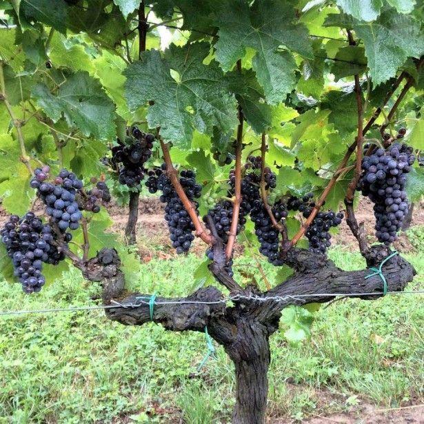 картинки куст винограда змей, олицетворяющий