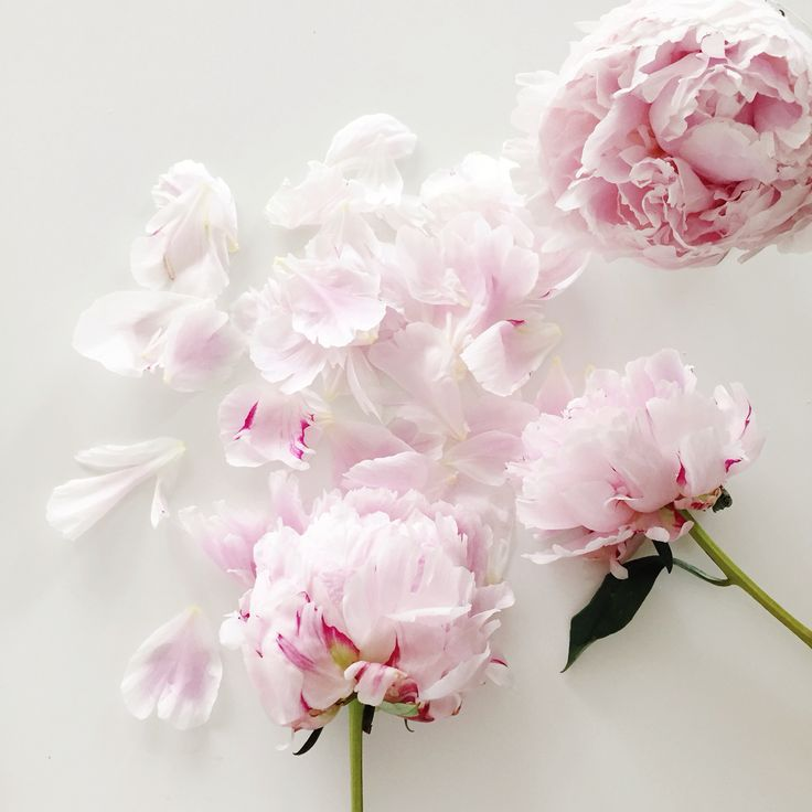 The Pink Peonies 316 best f l o w e r s images on pinterest | flowers, beautiful