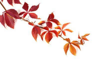 Vigne rouge: le remède naturel pour les problèmes circulatoires et veineux