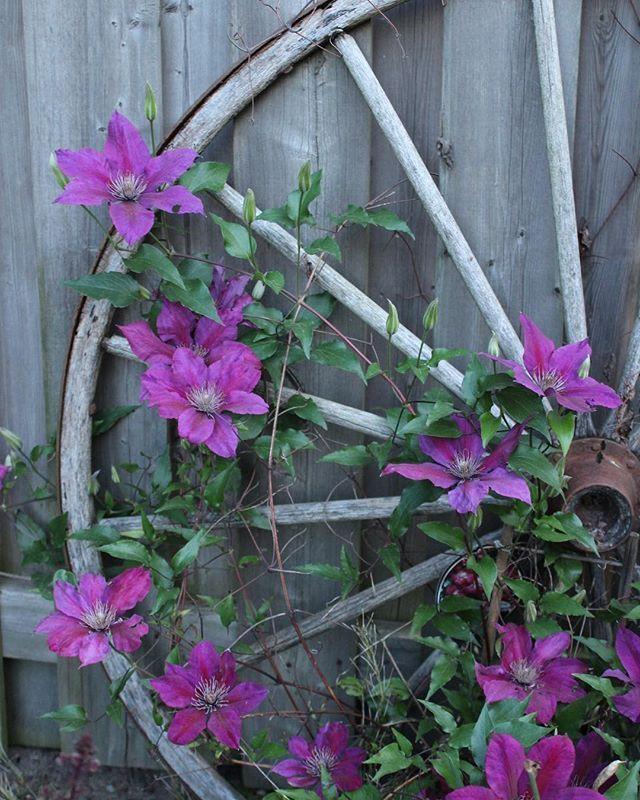 06/04/17 - . . . . . #nature #lasalle #canada #getoutsise #purple #purpleflower #naturephotography #flowers #backyard #HMphotography #HeyMandie #photography #canon #CanonT6 #wagonwheel #antique