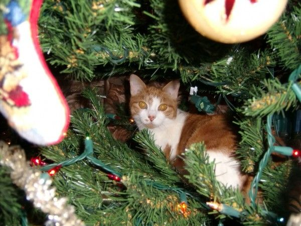 Kitty Kat Christmas Tree Climbing Derby |