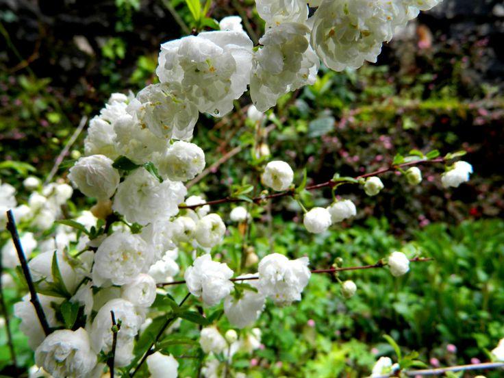 Prunus Glandulosa.