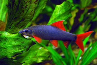 Rainbow shark much nicer in tank mate then red tailed for Rainbow shark fish
