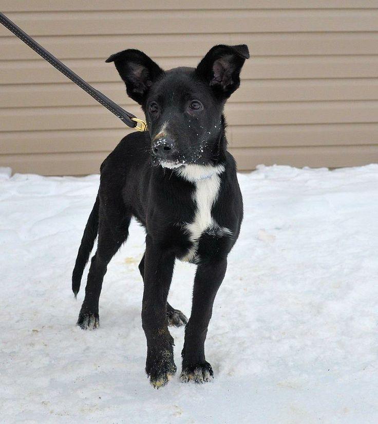 À ADOPTER l CHIOT Nelly. Elle n'a que 3 mois. C'est une labrador croisée ? C'est une chienne qui a besoin d'une famille qui a de l'expérience avec les chiens a caractère fort car elle demontre deja des signes d'un caractère fort. http://www.missdolittle.com/Consulter-annonces-animaux/14274-Chien-Labrador