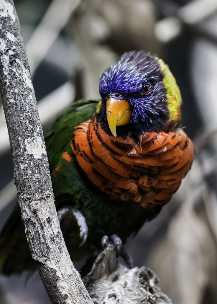 Rainbow Lorikeet by Paul E.M.