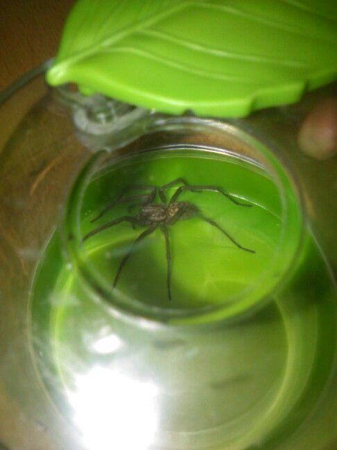 Věřili byste že tohoto pavouka můžete mít doma třeba pod postelí? Jmenuje se pokoutník domácí