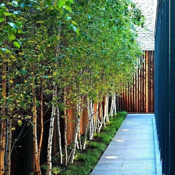 Tall Thin Trees Tall Thin Trees For Screening Terrific Trees For