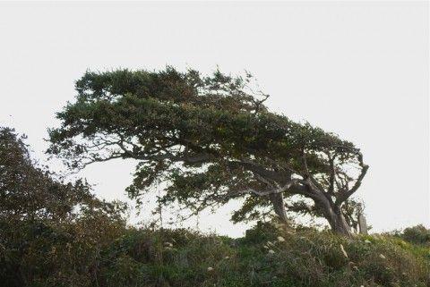 風で変形した木。植物の造形で見たものとそっくり。風の力って偉大だなと思わせる一枚