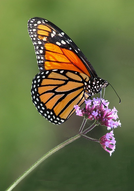 Butterfly - Captured this beautiful monarch at the Butterfly Pavilion in Elkton, Oregon by Faye Pekas, via Flickr