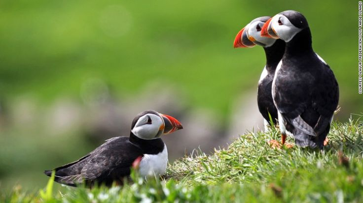 Mykines and Skuvoy are popular places to watch puffins. Known as…