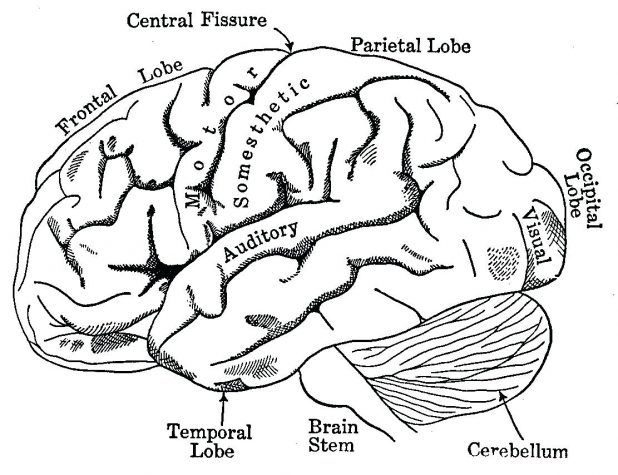 Brain Anatomy Coloring Pages To Print 48 Cool Free Printable ...