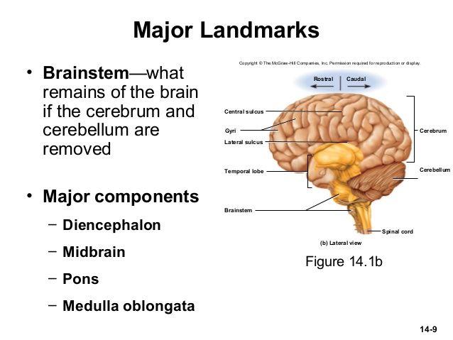 brain cerebrum thalamus hypothalamus pons medulla