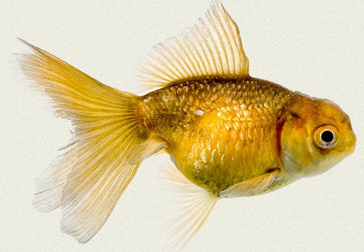 Goldfish come in thousands of different colors.