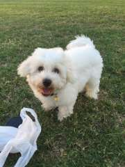 Pure Bred Bichon Frise!!!! | Bichon Frise puppies for sale Toowoomba Queensland on pups4sale - http://www.pups4sale.com.au/dog-breed/421/Bichon-Frise.html