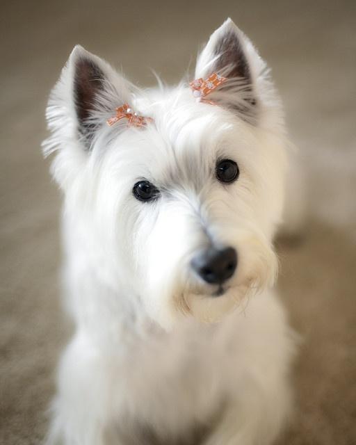 westie west highland white terrier dogs westie. Black Bedroom Furniture Sets. Home Design Ideas