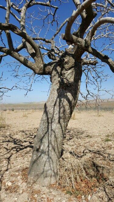 Old pistachio tree