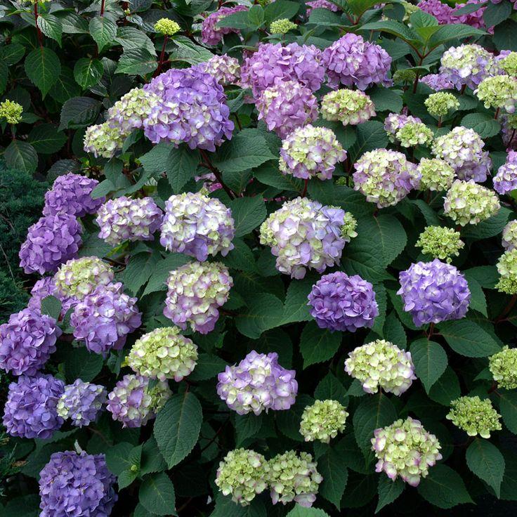 17 best ideas about endless summer hydrangea on pinterest care of hydrangeas hydrangea - Caring hydrangea garden ...