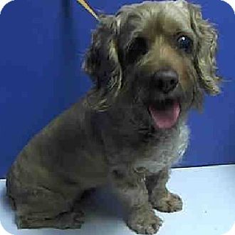Flushing, NY - Abandoned Angels, Cocker Spaniel/Terrier (Unknown Type, Medium) Mix. Meet Pecan Pie Penny, a dog for adoption. http://www.adoptapet.com/pet/9881156-flushing-new-york-cocker-spaniel-mix