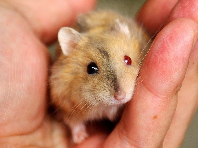 white dwarf hamsters with red eyes - photo #18