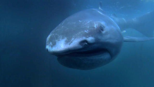 Shark Week: Alien Sharks: The Megamouth : Video : Discovery Channel