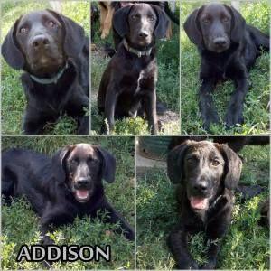 Kutya örökbefogadás - Addison, Hajdúszoboszló