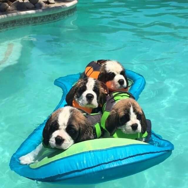 The 25 Best Saint Bernard Puppies Ideas On Pinterest St