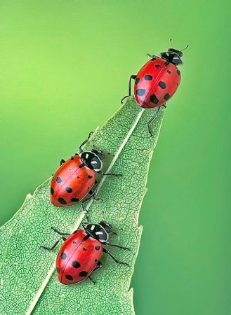 Lady Bugs are my garden friends!