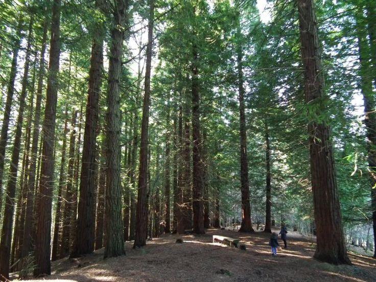 Naturmendi: El bosque de secuoyas de Cabezón de la Sal en Cantabria.
