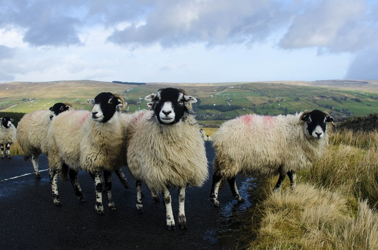 Sheep in the Pennines