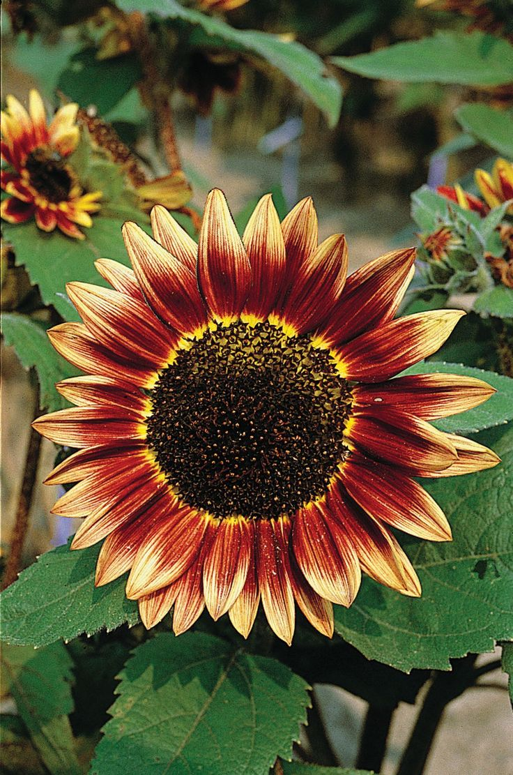 List of annual flowers ided by color sun amp shade types - Many People Remark About The Red Shaded Sunflowers That Are In Mixes Like Bellezza D