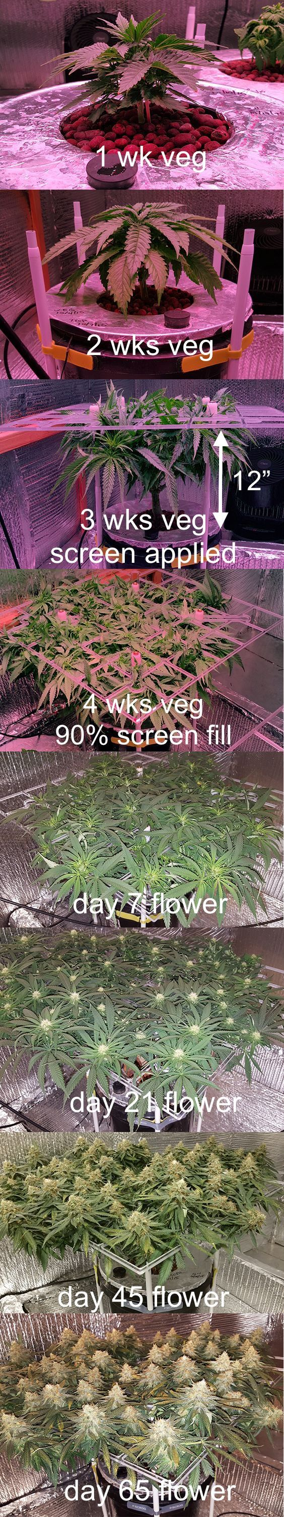This White Widow was germinated from seed. Following rooting veg period was 32 days. Topped twice. Nothing allowed to grow through screen during veg. Switched to 12/12 lighting once screen fill was 90%. Flowers allowed to grow through screen. Flowered 65 days before harvest.