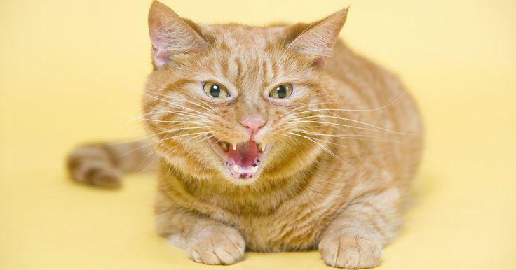 """Comportamento agressivo repentino de gatos. A agressividade dos felinos é """"o segundo problema mais frequente"""" visto em gatos, como apontam pesquisas. A agressividade de seu animal pode ser direcionada a outro animal ou a uma pessoa. Agressão repentina em gatos pode se tornar potencialmente perigosa, especialmente se seu gato morde e arranha. Se seu gato ficar agressivo tendo sido um animal ..."""