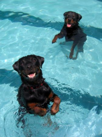 synchronized swimming..is a friend and a pool and your love..have fun #Rottweilers
