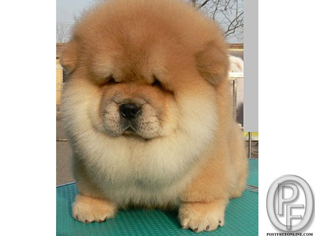 Chao Chao Puppies Available For Sale With Pet Destination
