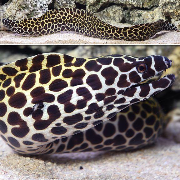 Tessalata Eel Sea Creatures Pets Creatures