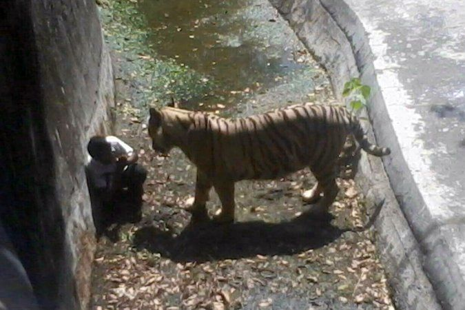 White Tiger Kills Visitor at Zoo in India - NYTimes.com A man with the tiger that later killed him at the New Delhi zoo. Witnesses said the man had fallen into the moat. Credit Agence France-Presse — Getty Images
