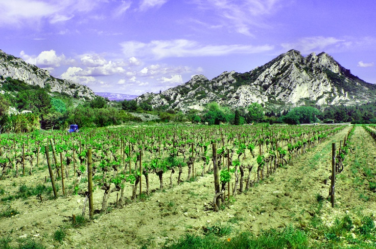 Winnica w Prowansji (Vineyard in Provence)