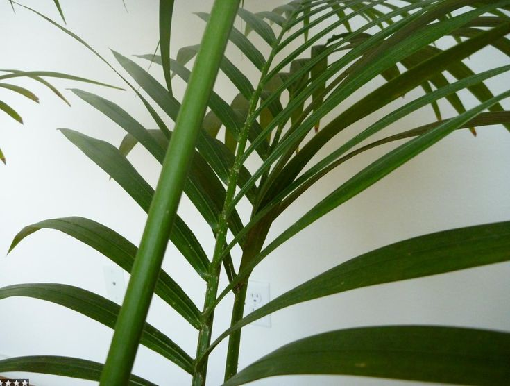 Best 25 palm house plants ideas on pinterest outdoor for Areca palm safe for cats