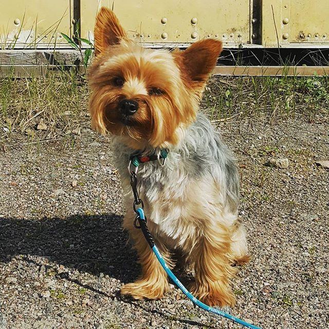 Hello there..?  #rufus #yorkie #yorkshireterrier #dog #littledog #instayorkie #yorkiesofinstagram #furball #dogpics #dogphotography #cutie #dogstagram #yorkielove #yorkki #terrier #terrieri #yorkshirenterrieri #cutedog #naturephotography #helsinki