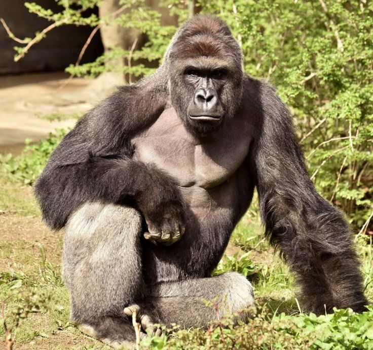 "Harambe -- ""This tragic choice arose only because we keep animals in zoos . . . Zoos warp our understanding of these wonderful beings"" Love the whole article: The Cincinnati Zoo's problem wasn't that it killed its gorilla. It's that it's a zoo."