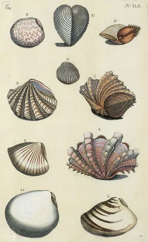 From D'Amboinsche rariteitkamer (The Ambonese Curiosity Cabinet), 1711. This work, from which our plates come, is a classic on the marine life of the Molluca Islands, and, because of its accuracy and ecological detail, is regarded as a forerunner of modern marine biology.