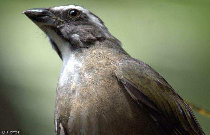 Saltator similis - Também chamado de bico-de-ferro, o trinca-ferro-verdadeiro possui bico negro e forte, o que originou essa nomenclatura. O dorso é verde, as laterais da cabeça e a cauda são cinza e possui uma faixa branca sobre os olhos. A garganta também é branca, a região ventral é marrom, e as asas são esverdeadas. Mede até 20 centímetros de comprimento. Não há dimorfismo sexual. Para diferenciar os sexos, é preciso se atentar à vocalização: o macho canta e a fêmea pia.