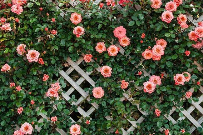 HappyModern.RU | Вьющиеся розы (59 фото): уход за аристократической красавицей | http://happymodern.ru